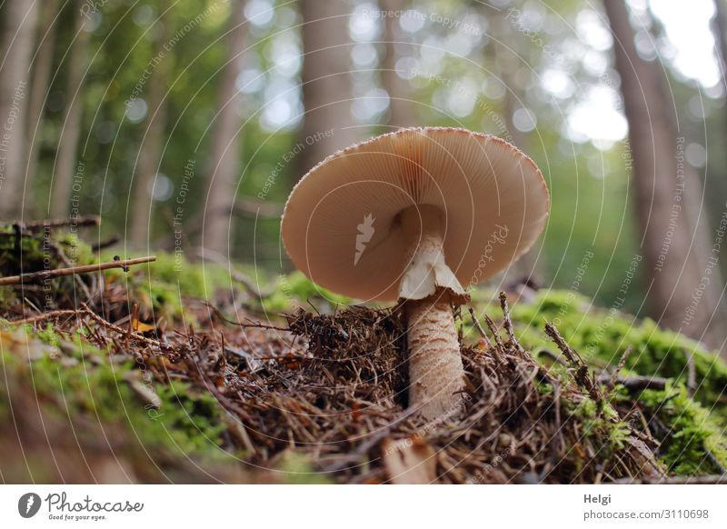Parasol mushroom on the forest floor from frog's perspective, in the background trees with bokeh Environment Nature Landscape Plant Autumn Beautiful weather