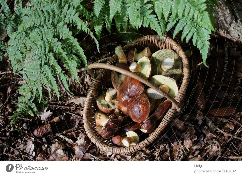 Wicker basket with many harvested mushrooms stands under fern leaves on the forest floor Environment Nature Plant Autumn Beautiful weather Fern Forest