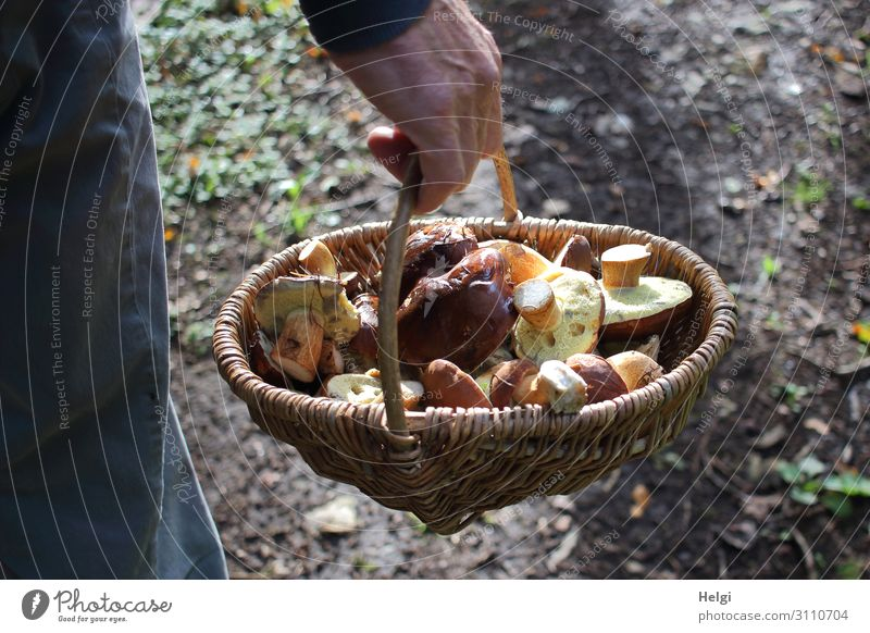 Male hand carrying a wicker basket with freshly harvested wild mushrooms Hand Environment Nature Autumn Forest Basket Wicker basket To hold on Authentic