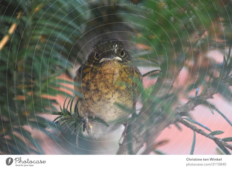 young robin sits in a yew tree and looks into the camera Animal Summer Plant Tree Yew Wild animal Bird Robin redbreast 1 Baby animal Looking Sit Exceptional