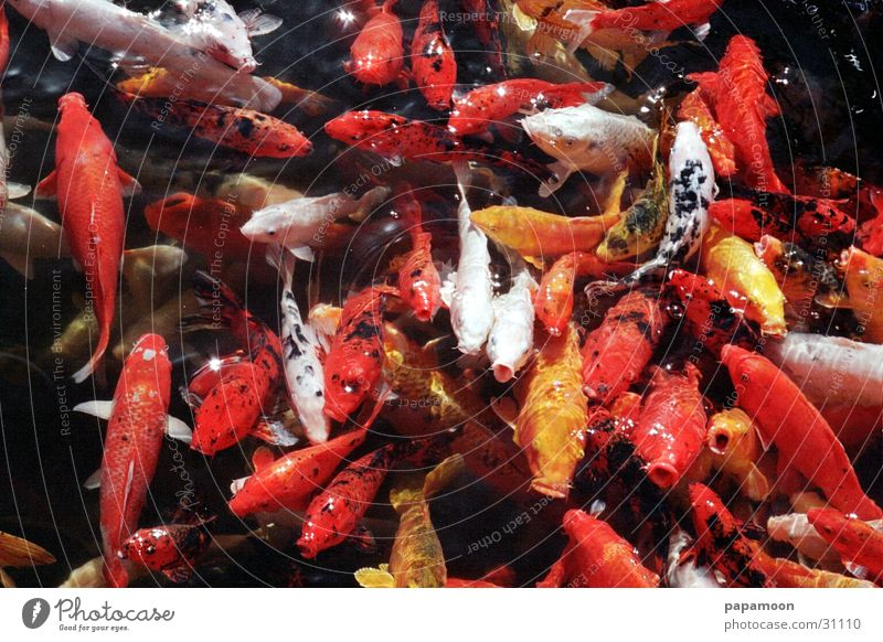 good taste Koi Pond Lake Goldfish Damp Transport Fish Mouth Muzzle Water