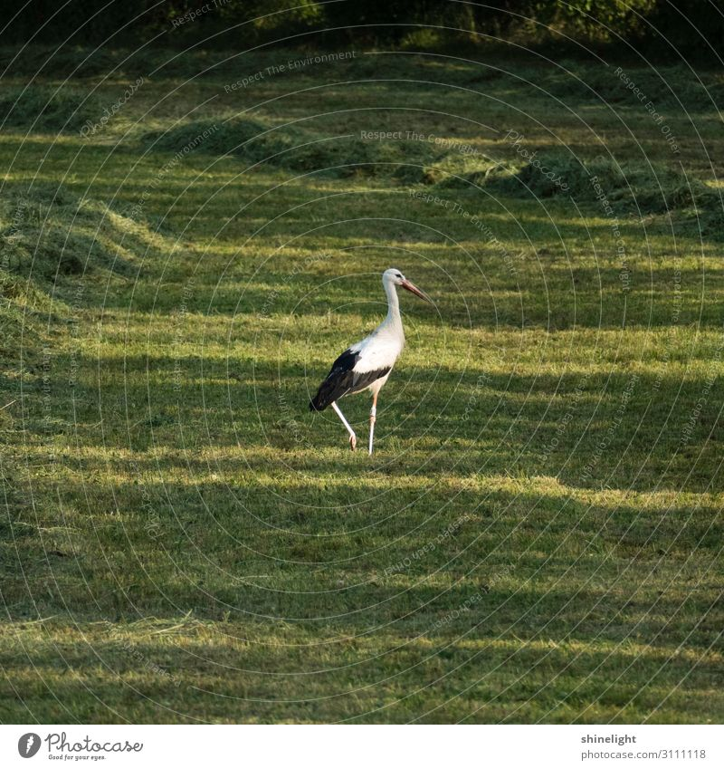 White stork with one leg tightened walking in a green grassland Environment Nature Landscape Animal Wild animal Beak Wing Animal foot Eyes Stork Bird