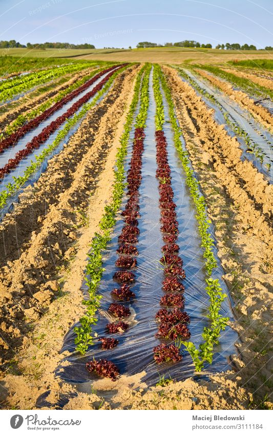 Organic farm field with patches covered with plastic mulch. Vegetable Lettuce Salad Gardening Agriculture Forestry Landscape Plant Earth Field Plastic Growth