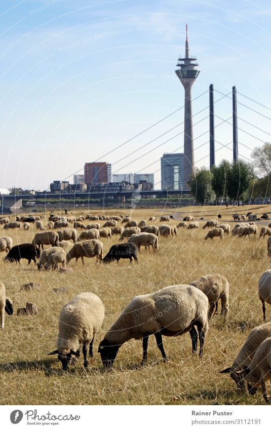 Climate change: Sheep on a dry meadow in Düsseldorf Cloudless sky Weather Beautiful weather Meadow Duesseldorf Town Downtown Farm animal Flock Herd To feed Blue