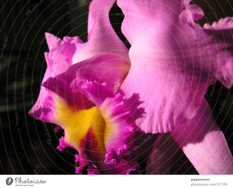 pink orchid Orchid Pink Blossom Flower Plant catleya Pistil Lips