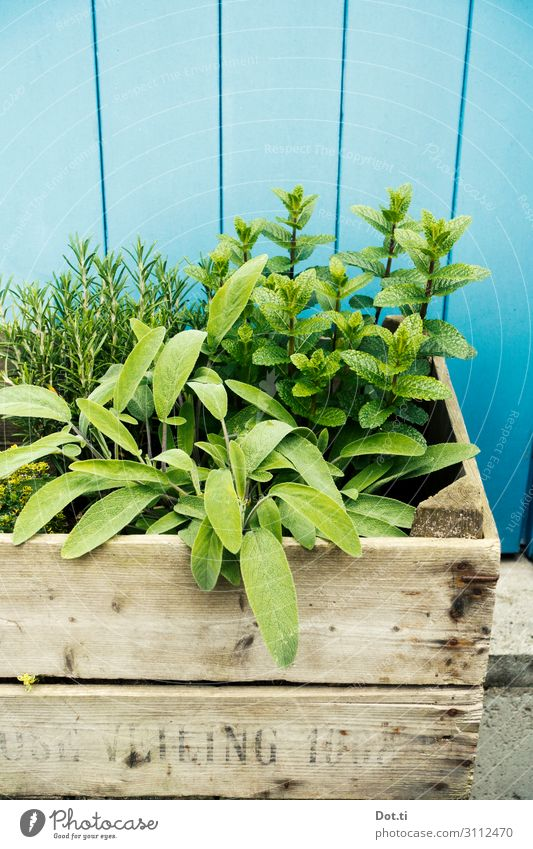 Plant Blue Green Healthy Food Nutrition Fresh Delicious Herbs and spices Organic produce Ingredients Wooden wall Agricultural crop Mint Rosemary Sage