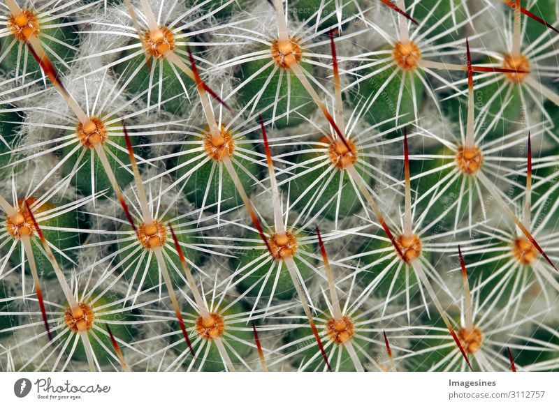 "Cactus close-up Nature Plant Wild plant Exotic Eroticism Thorny Multicoloured Pain ""Wax Growth sheet,macro Natural tart peak structure succulent Summer texture"