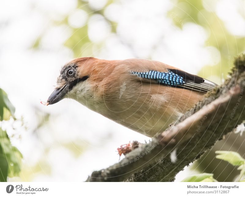 Jay on a branch Nature Animal Sky Sunlight Beautiful weather Tree Leaf Twigs and branches Wild animal Bird Animal face Wing Head Beak Eyes Feather Plumed 1