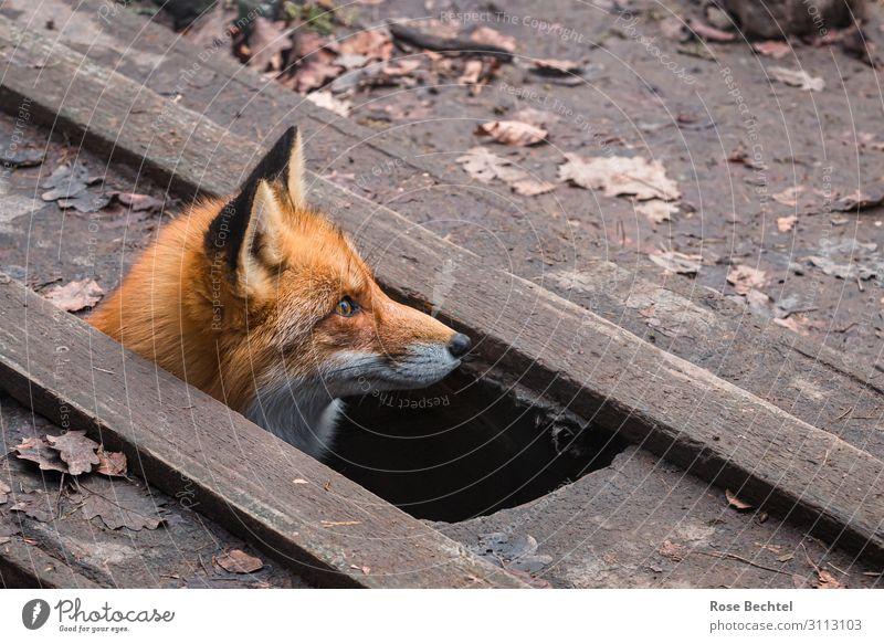 Animal Wood Brown Wild animal Animal face Fox Look out Foxs den