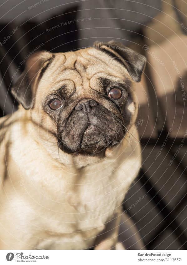 A portrait of a beautiful pug, only the head Relaxation Summer Nature Animal Pet Dog Pelt 1 Feeding Walking Love Playing Jump Friendliness Smart Soft Trust