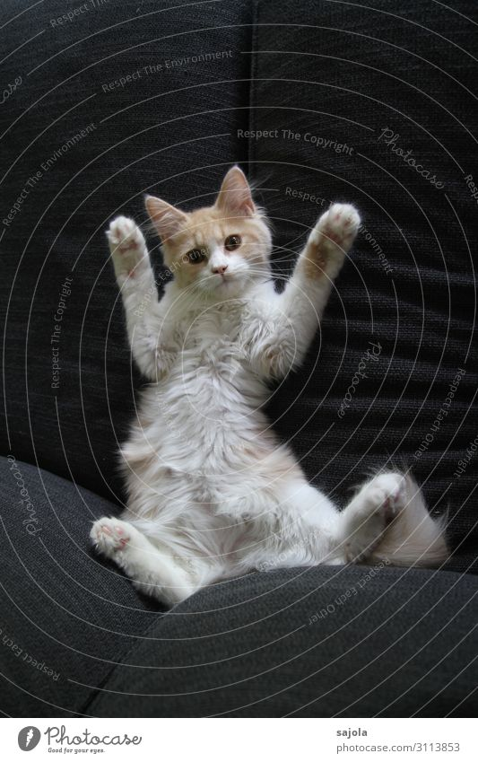 paws up! Animal Pet Cat 1 Observe Relaxation Lie Looking Playing Hands up! Calm Vertauen Colour photo Interior shot Deserted Copy Space top Copy Space bottom