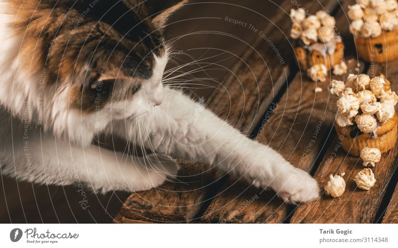 Cat reaches for popcorn Food Dessert Candy Nutrition Animal Pet Pelt Claw Paw 1 Wood To enjoy Curiosity Popcorn Muffin Grasp Appetite Colour photo