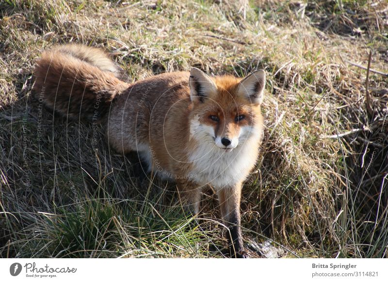 fox, nature, habitat Meat Harmonious Contentment Education Advertising Industry Nature Animal Pelt Wild animal Fox 1 Touch Exceptional Smart Brown Trust