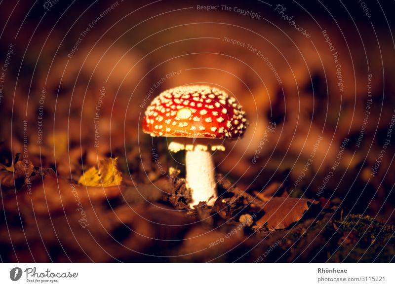 A little man stands in the forest Nature Landscape Plant Earth Autumn Mushroom Forest Brown Multicoloured Red White Conceited Amanita mushroom Autumn leaves
