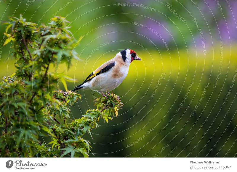 Goldfinch Old Bird Animal Wild animal Wing 1 Crouch Sit Stand Free Fresh Cute Warmth Multicoloured Yellow Green Red Black White Calm Freedom Perspective