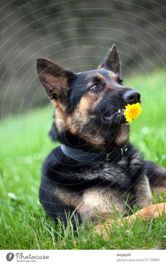 German shepherd dog with flower Dog dogs Flower stop Donate Funny wittily Humor Shepherd dog German Shepherd Dog Pet