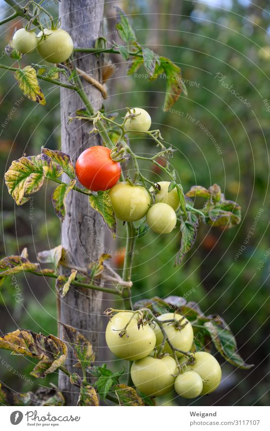 tomatoes Food Vegetable Nutrition Organic produce Vegetarian diet Diet Slow food Foliage plant Agricultural crop Garden Sustainability Tomato Gardening Harvest
