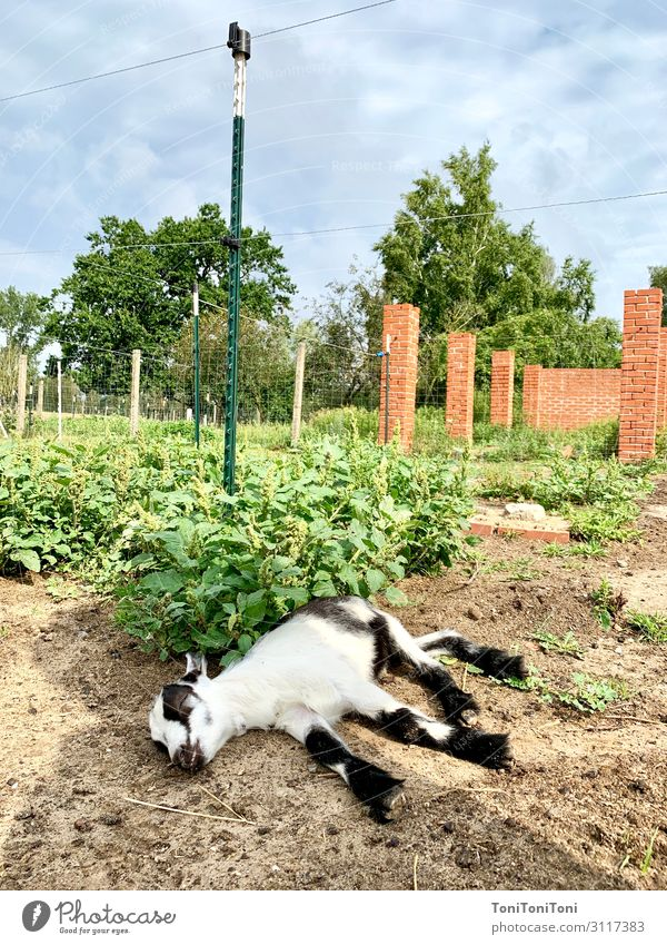 Goat rotting Summer vacation Nature Landscape Earth Beautiful weather Field Animal Farm animal 1 Baby animal To enjoy Sleep Goats Colour photo Subdued colour