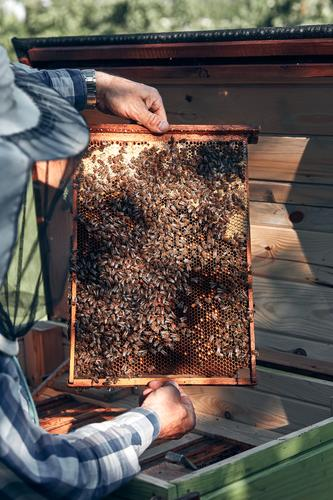 Beekeeper working in apiary Human being Nature Man Summer Hand Animal Lifestyle Adults Environment Natural 45 - 60 years Authentic Farm Insect Draw