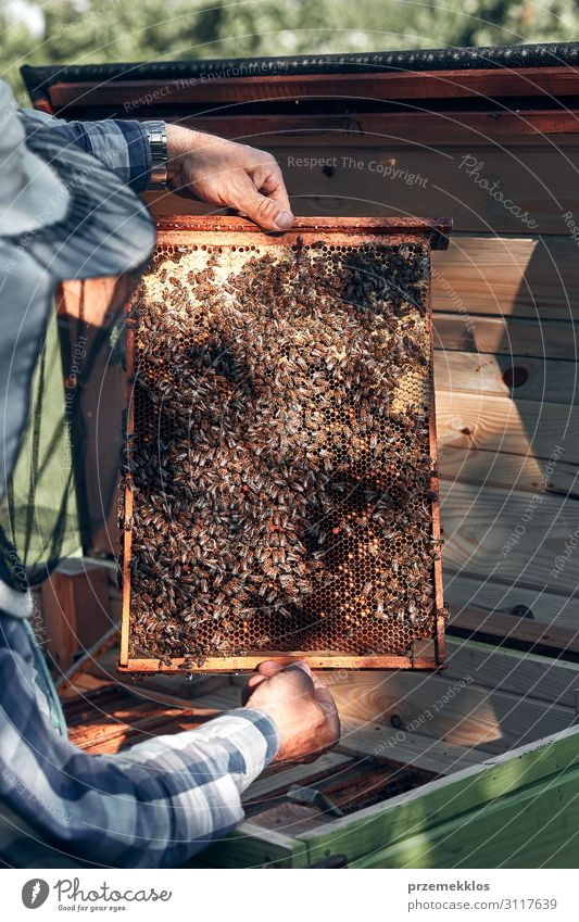 Beekeeper working in apiary Lifestyle Summer Human being Man Adults Hand 1 45 - 60 years Environment Nature Animal Draw Authentic Natural honey apiculture