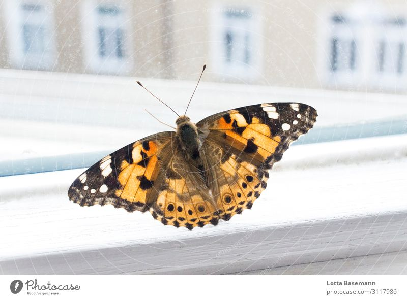 butterfly Animal Wild animal Butterfly Wing 1 Flying Esthetic Beautiful Natural Orange Black Captured Town Nature Life Border Window Window pane Vantage point