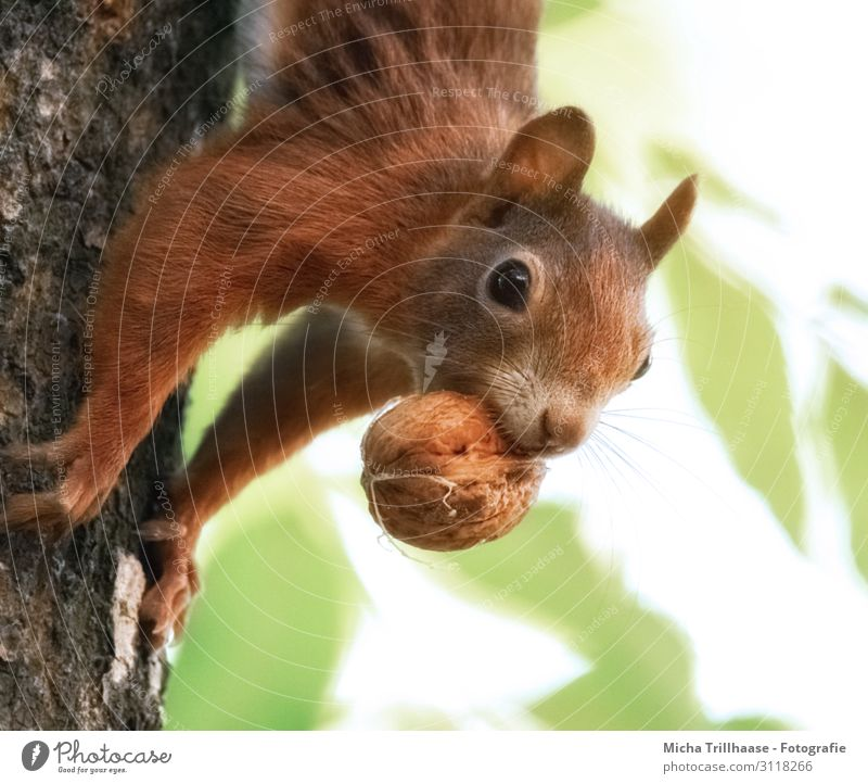 Squirrel with nut in mouth Nature Animal Sunlight Beautiful weather Tree Leaf Tree trunk Forest Wild animal Animal face Pelt Claw Paw Head Muzzle Eyes Nose Ear