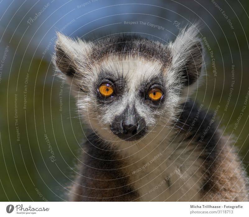 Katta with dreamy view Nature Animal Sky Sunlight Beautiful weather Wild animal Animal face Pelt Ring-tailed Lemur Half-apes Monkeys Head Eyes Ear Nose Muzzle 1