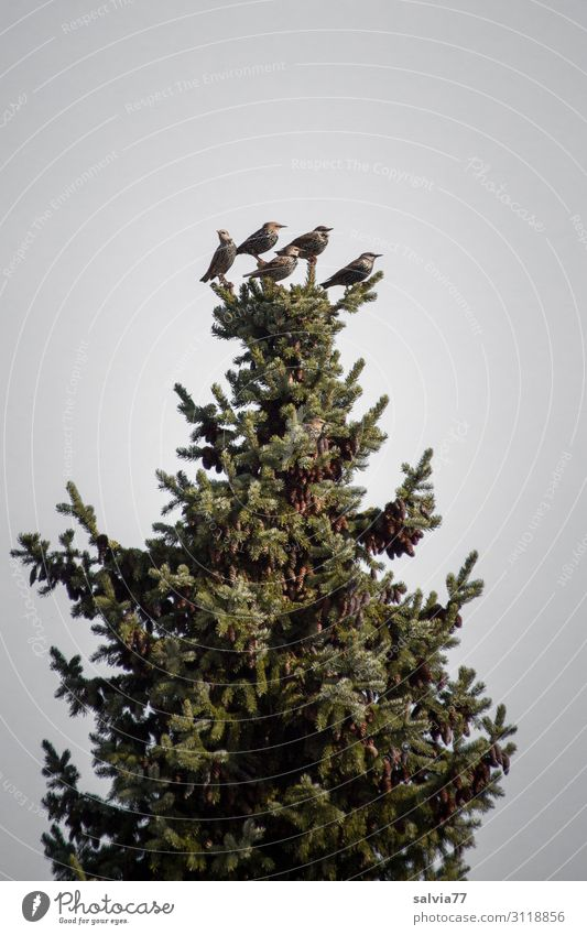 top position Environment Nature Landscape Plant Tree Fir tree Spruce Coniferous trees Park Forest Animal Bird Starling Migratory bird Group of animals Observe