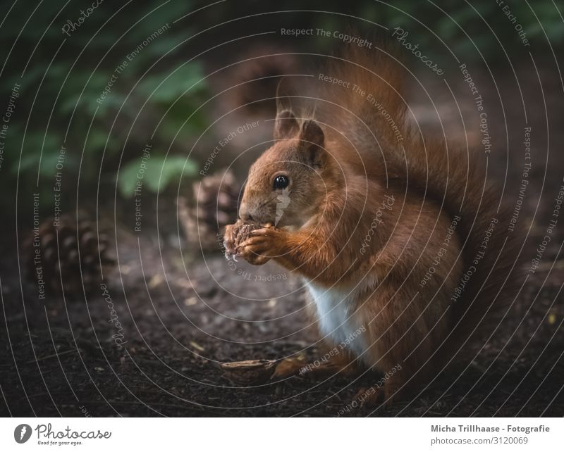Squirrel eats nut Nature Animal Sunlight Leaf Forest Wild animal Animal face Pelt Claw Paw Head Eyes Ear Tails 1 To feed Sit Near Cute Brown Green Orange Black