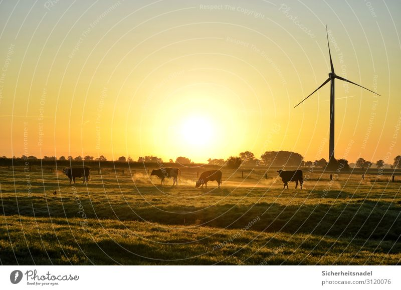 Cows at sunrise Landscape Autumn Beautiful weather Meadow Farm animal 4 Animal Herd Gold Contentment Pinwheel Colour photo Exterior shot Copy Space top Morning