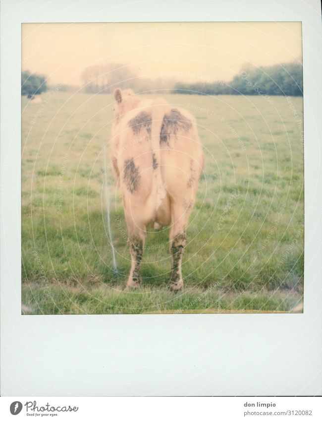 Lisa Agriculture Forestry Summer Field Animal Farm animal Cow 1 Stand Wait Sharp-edged Idyll Nature Stagnating Landscape Behind Polaroid Colour photo