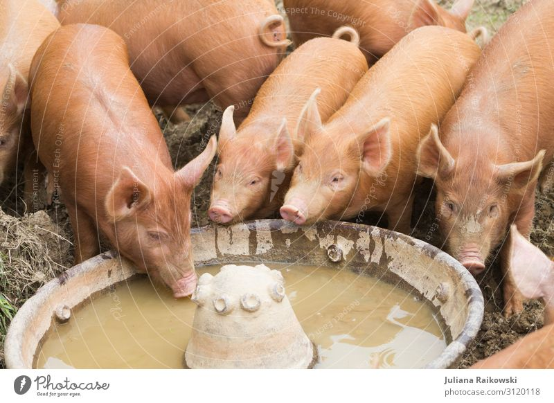 pig Nature Animal Farm animal Swine Group of animals Trough Barn To feed Feeding Drinking Dirty Sustainability Environment Sweet Meat Keeping of animals
