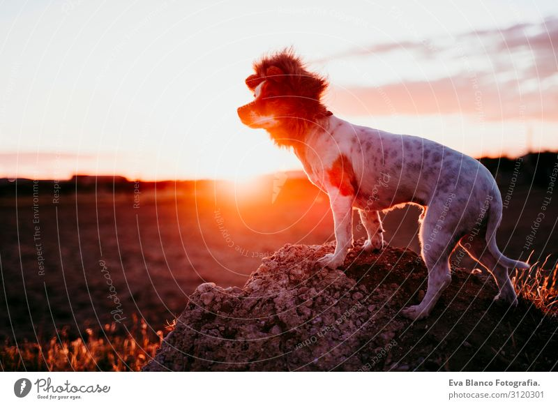 cute small jack russell terrier dog on a rock at sunset. Wearing a funny lion king costume on head. Pets outdoors and humor Animal toned Authentic Purebred Ear