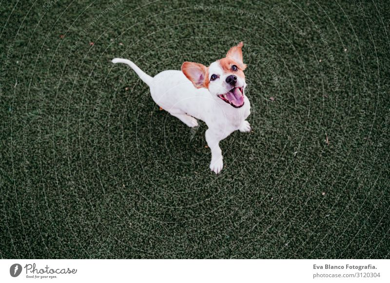 cute small jack russell terrier dog sitting outdoors ready to play. Happy dog at sunset. Pets outdoors Playing Friendship Joy Animal White Playful Exterior shot