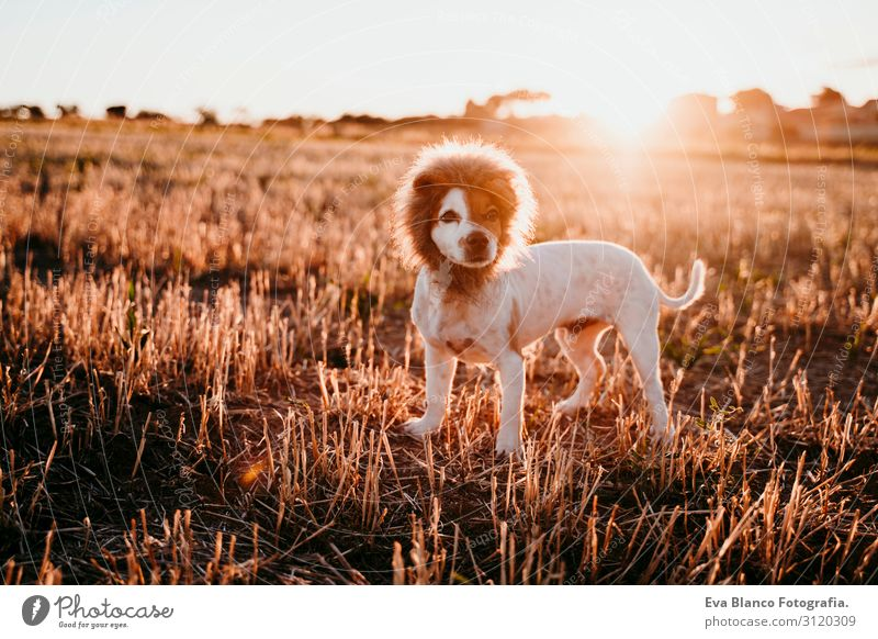 cute small jack russell terrier dog in a yellow field at sunset. Wearing a funny lion king costume on head. Pets outdoors and humor Animal toned Authentic