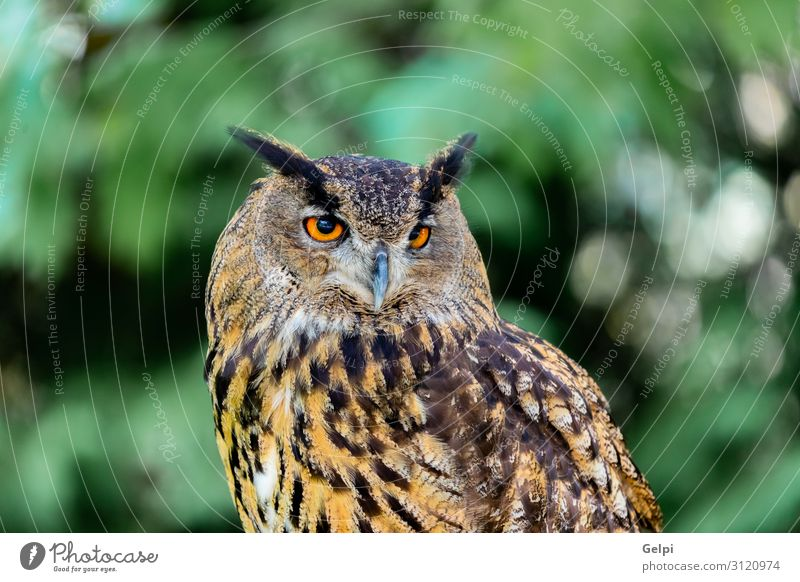 Royal Owl Beautiful Nature Animal Forest Bird Wing Small Funny Natural Cute Wild Brown Yellow Gold Green Black White wildlife Prey predator sunny branch Hunter