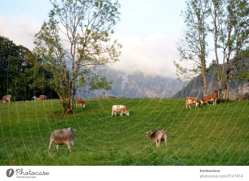 farsighted | Alpine panorama Landscape Sky Summer Autumn Meadow Forest Alps Mountain Allgäu Alps Cow Group of animals To feed Stand Fresh Bright Green Moody