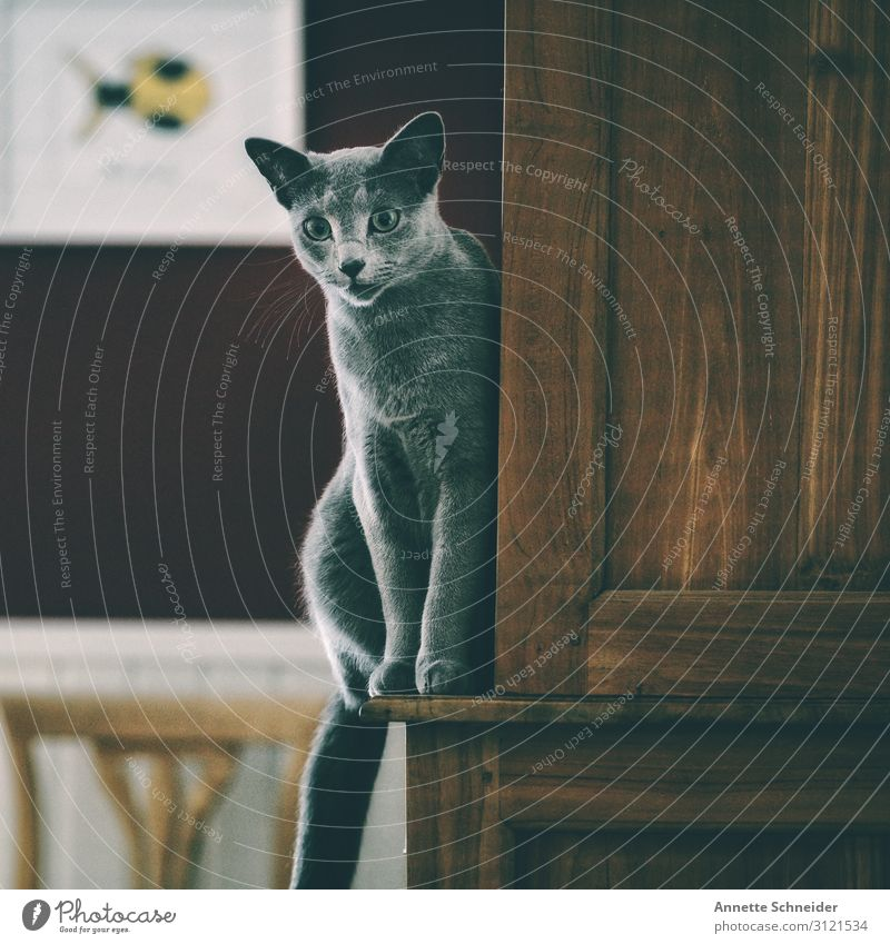 Cat balanced on cupboard Pet 1 Animal Brown Gray Red Colour photo Subdued colour Animal portrait Forward