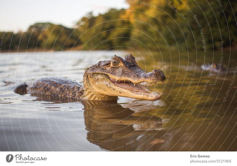 Small aligator smiling in water Nature Water Summer Lakeside River bank Animal Animal face 1 Baby animal Communicate Swimming & Bathing Exotic Happy Beautiful