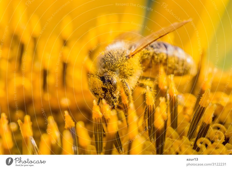 Honey bee covered with yellow pollen collecting sunflower nectar Summer Environment Nature Sun Climate Climate change Plant Garden Meadow Field Animal