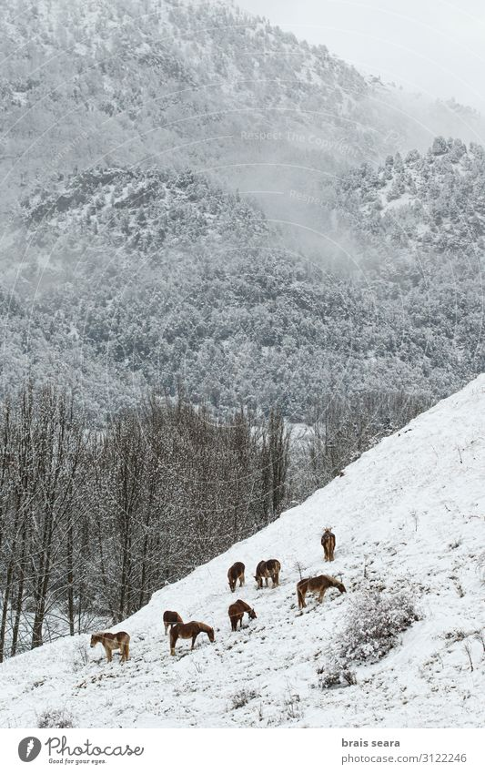 Horses in snow Beautiful Vacation & Travel Adventure Winter Snow Mountain Christmas & Advent Climbing Mountaineering Environment Nature Landscape Animal Earth