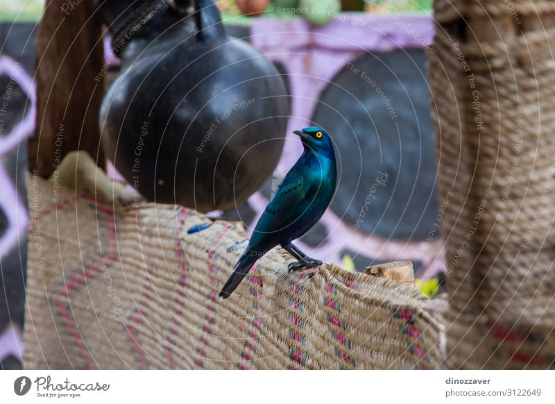 Beautiful Greater blue-eared starling bird, Ethiopia Nature Animal Bird Long Natural Wild Blue Yellow Black Colour wildlife greater Starling Feather african