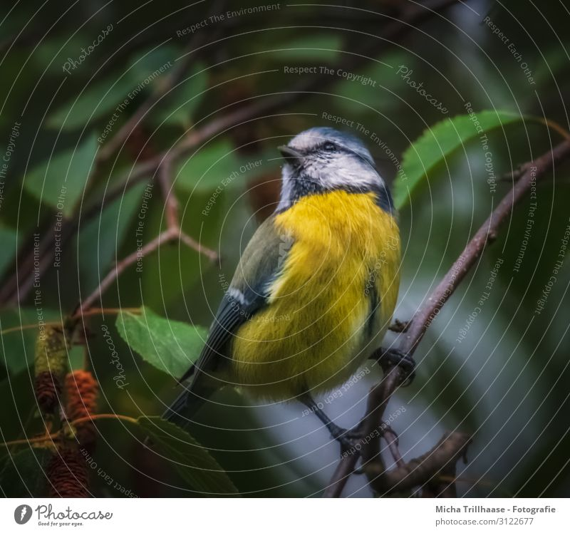 Blue tit at dusk Nature Animal Sunlight Tree Leaf Twigs and branches Wild animal Bird Animal face Wing Claw Tit mouse Head Beak Eyes Feather Plumed 1 Observe