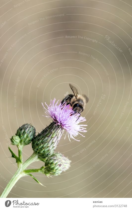 Bee on thistle Honey bee Nature Flower Blossom Thistle Garden Animal Wild animal 1 Small Brown Green Pink Nectar Environment Diligent Neutral Background