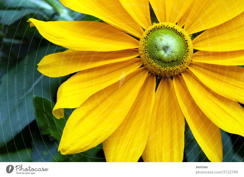 yellow Rudbeckia with green leaves Flower Blossom Blossom leave Nature Plant Summer Autumn Garden Park Blossoming Large Beautiful Yellow Green Herbaceous plants