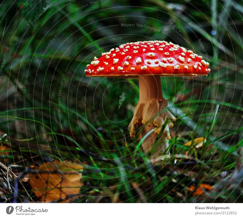 A little man stands in the woods ..... Food Environment Nature Plant Autumn Grass Mushroom Amanita mushroom Forest Growth Exotic Green Red White Poison