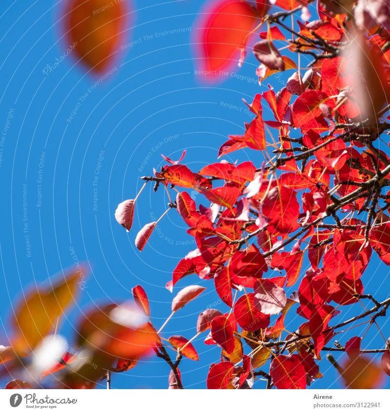 Sky Blue Colour Red Tree Leaf Autumn Natural Above Illuminate Esthetic Joie de vivre (Vitality) Beautiful weather Cloudless sky Autumn leaves Hang