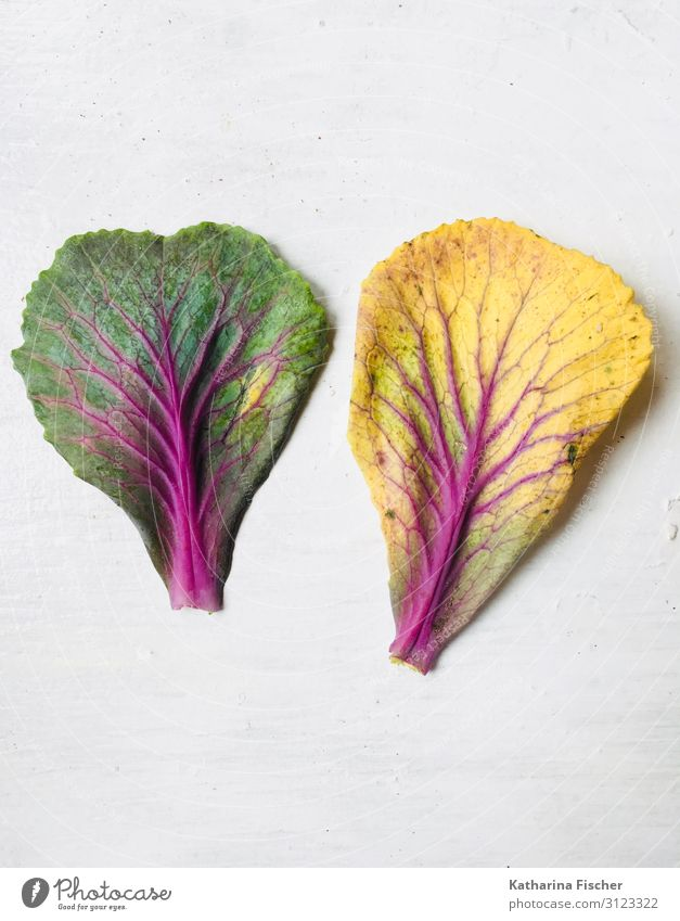 Trees of life on cabbage leaves Nature Spring Summer Autumn Winter Plant Leaf Uniqueness Yellow Green Violet Pink Red White Cabbage Cabbage leaves Limp