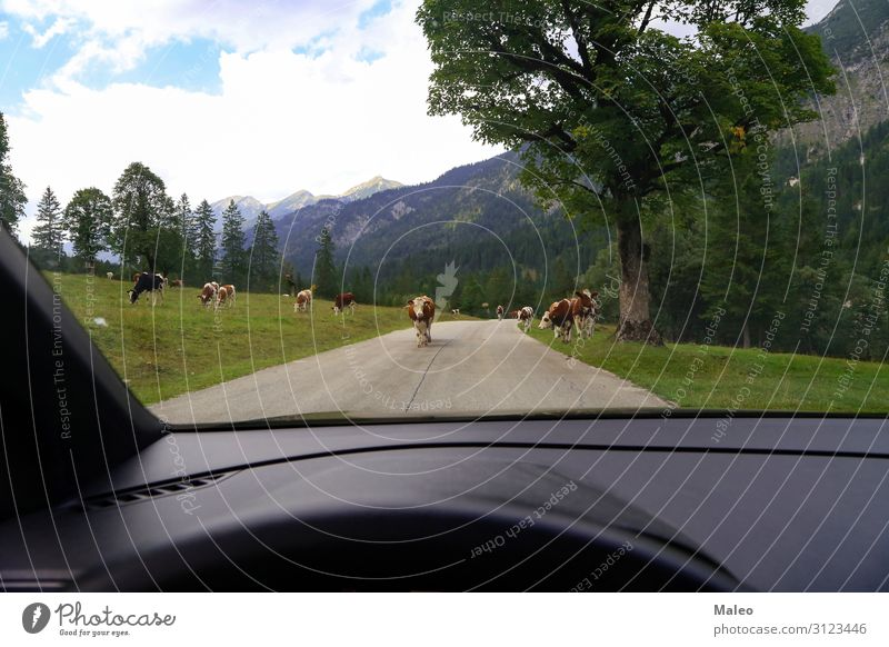 Cows on the street Agriculture Alps Animal Asphalt Austria Bell Brown Livestock Europe Farm Grass Green Milk Nature Street Summer Switzerland Landscape Forest