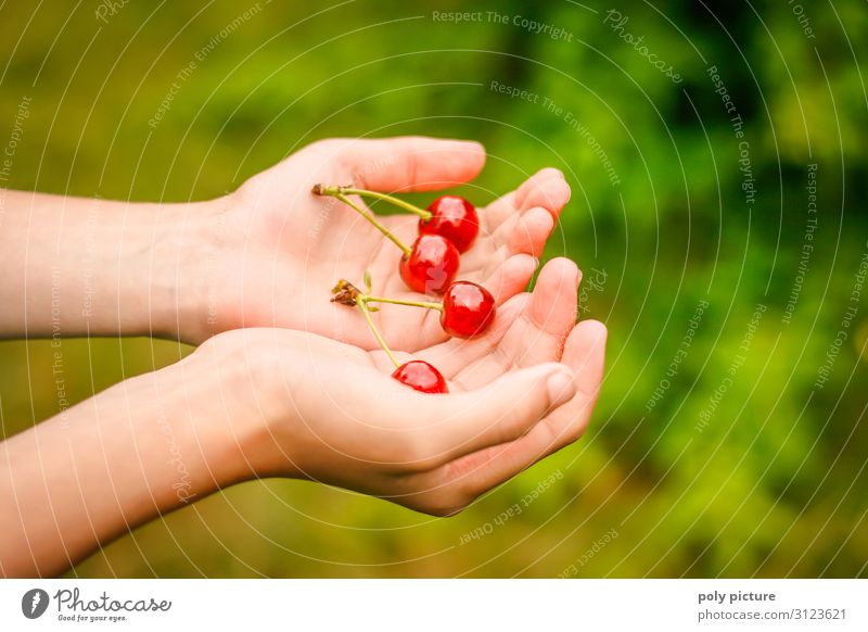 two hands holding 2 freshly picked pairs of cherries Green Agricultural crop Nature Summer's day self-sufficiency Fruit trees Germany Garden plot Hand Blur